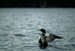 a photo of a loon in the water with its wings open