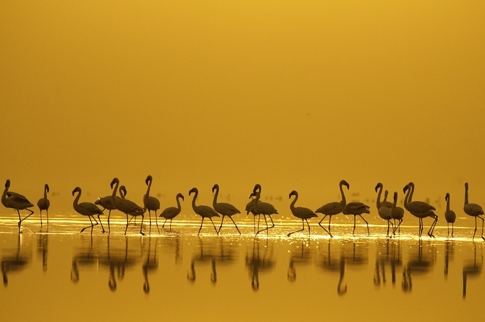 Pink flamingoes perch in the shallow water of Lake Nakuru in front of the orange sunrise.