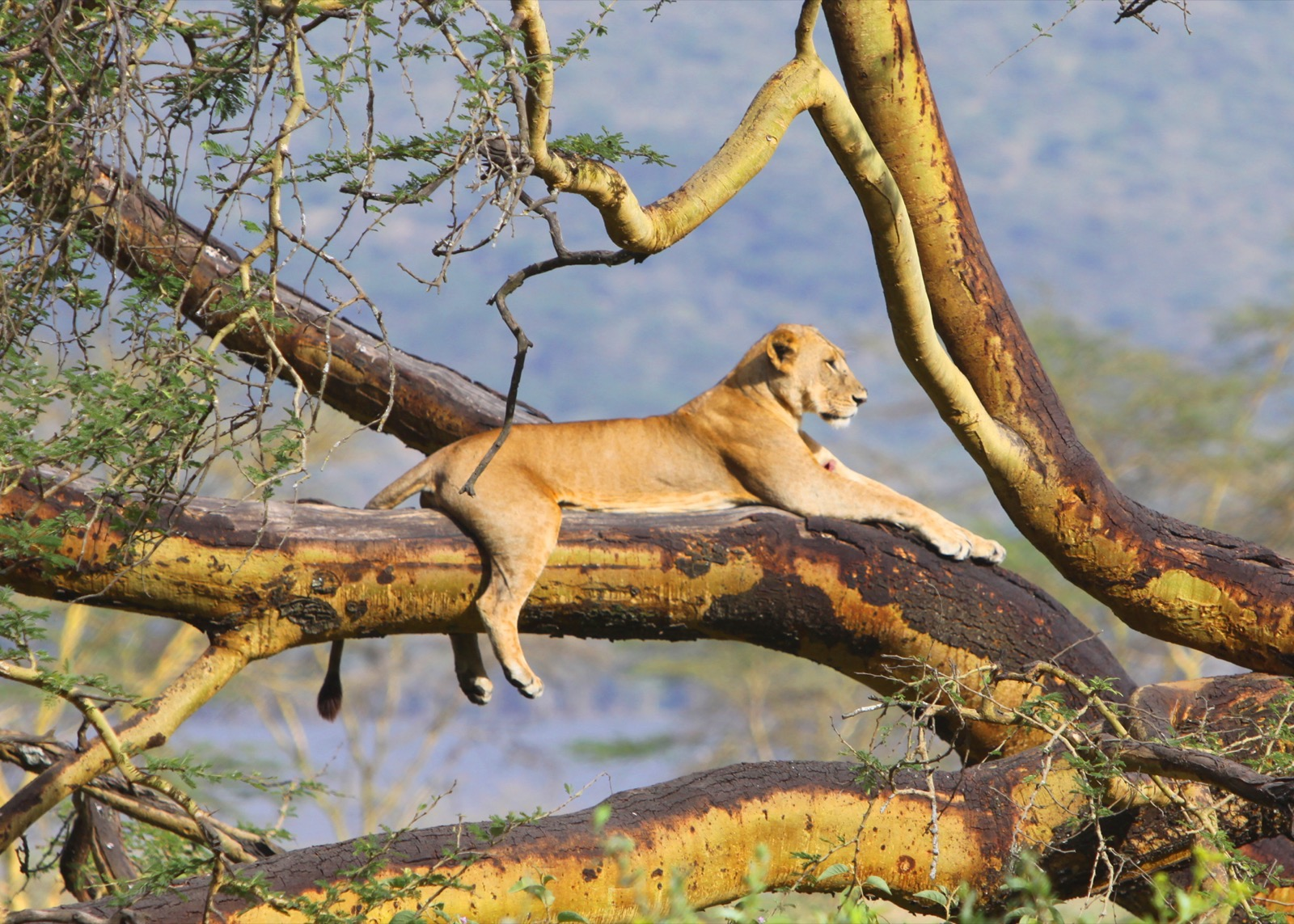 A lioness rests in tree with her feet dangling in Nakuru National Park, western Kenya.