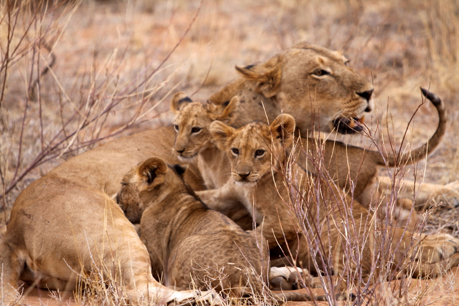 A lioness and her three, small lion cubs during feeding time in Kenya.