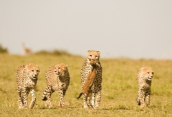 Four cheetah, one carrying its prey, trot across the golden plains of Kenya.