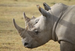 White rhinos grazing near Mt Kenya in Nakuru National Park