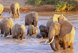 A group of elephants, large and small, cross the brown waters of the Ewaso Ngiro River.