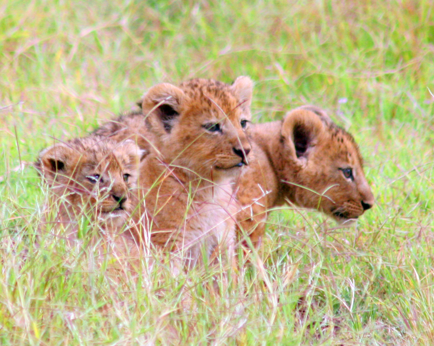 Three lion cubs among the tall grass of the Serengeti.