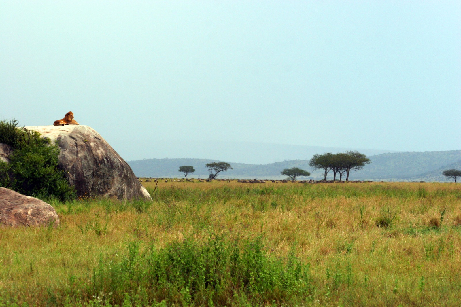 A male lion is perched atop a large rock in the African Serengeti.