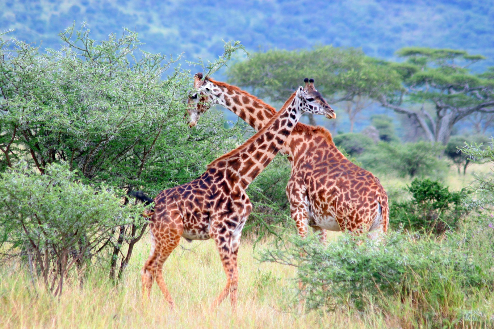 Two giraffes standing near each other in the bush of the Selous Game Reserve.