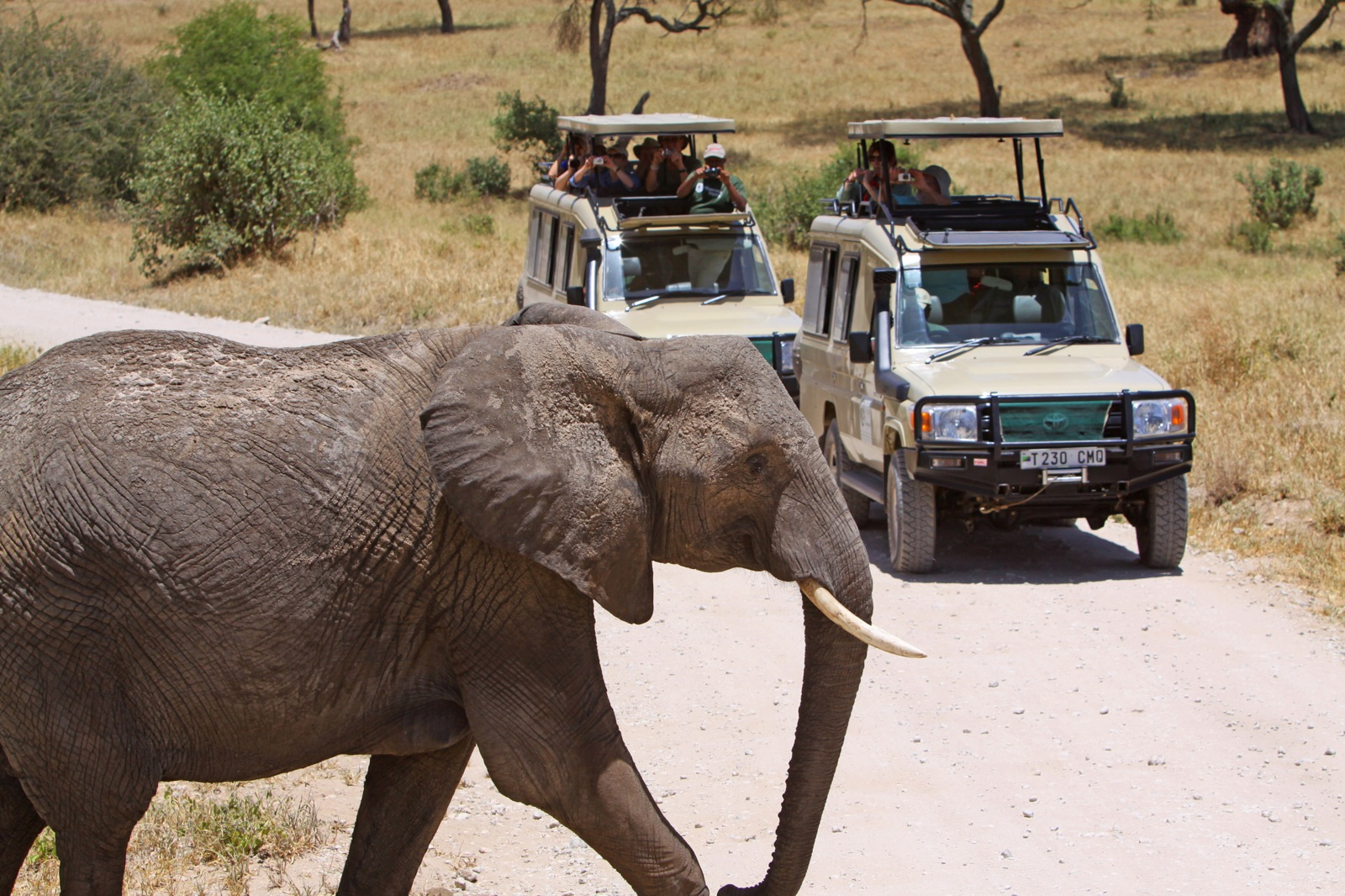 People peek out of the tops of two safari Land Cruisers to take photos of an elephant crossing the road in front of them.