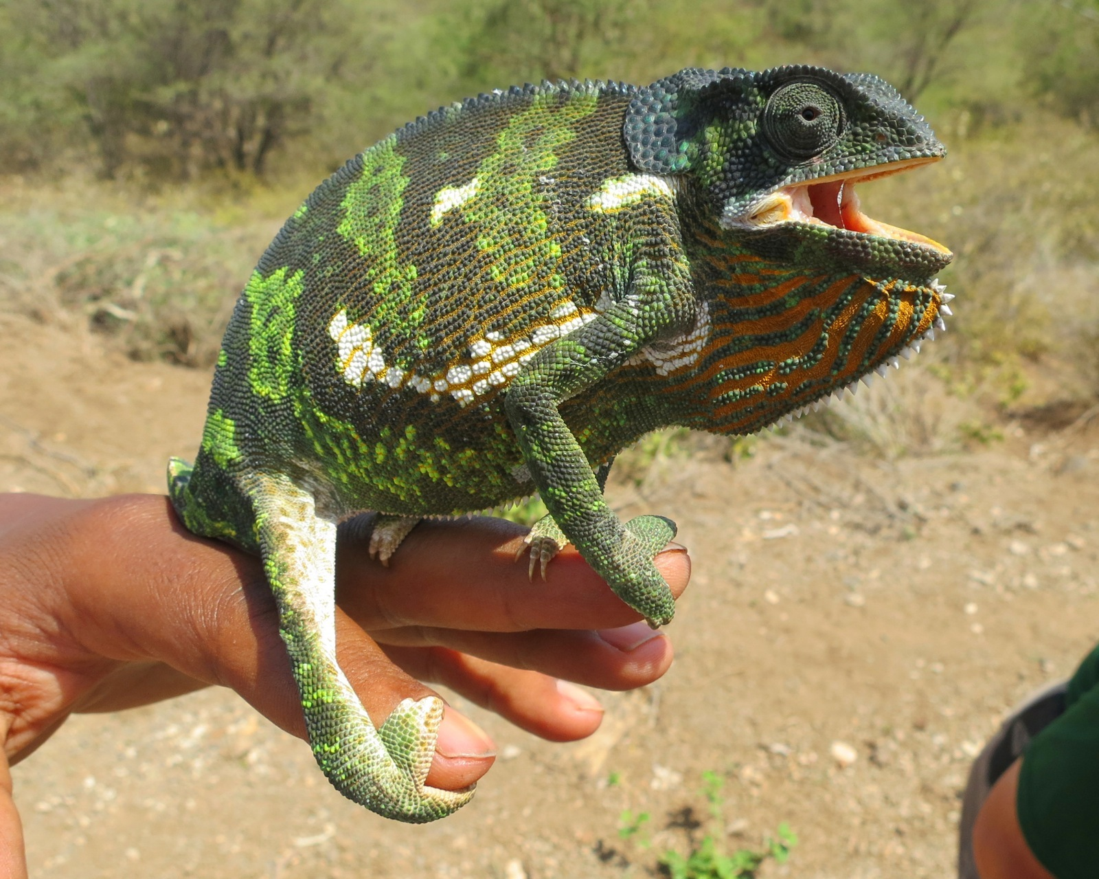 Close-up of a chameleon with mouth agape grasping onto guide's hand.