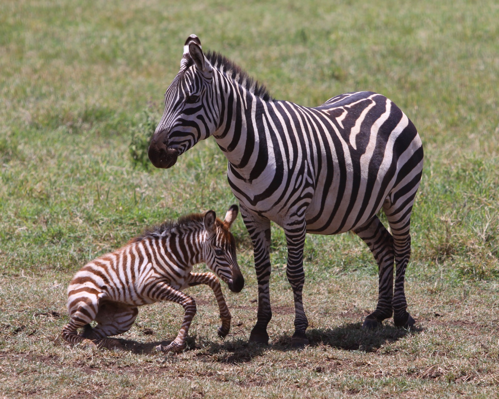 A baby zebra tries to stand up next to its mother.