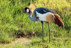 A grey crowned crane, a grey, white, and brown bird with a red, black, and white head and a crown of thin, tan feathers, stands tall in a grassy plain.