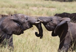 Two young elephants lock tusks as they playfully spar.