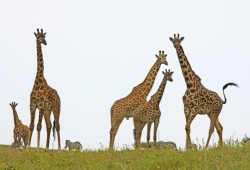 Five giraffe and a few zebras look curiously towards the photographer.