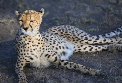 A close-up of a cheetah lounging on the ground.