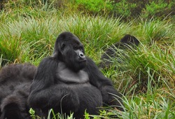 Three gorillas sit among tall tufts of grass.