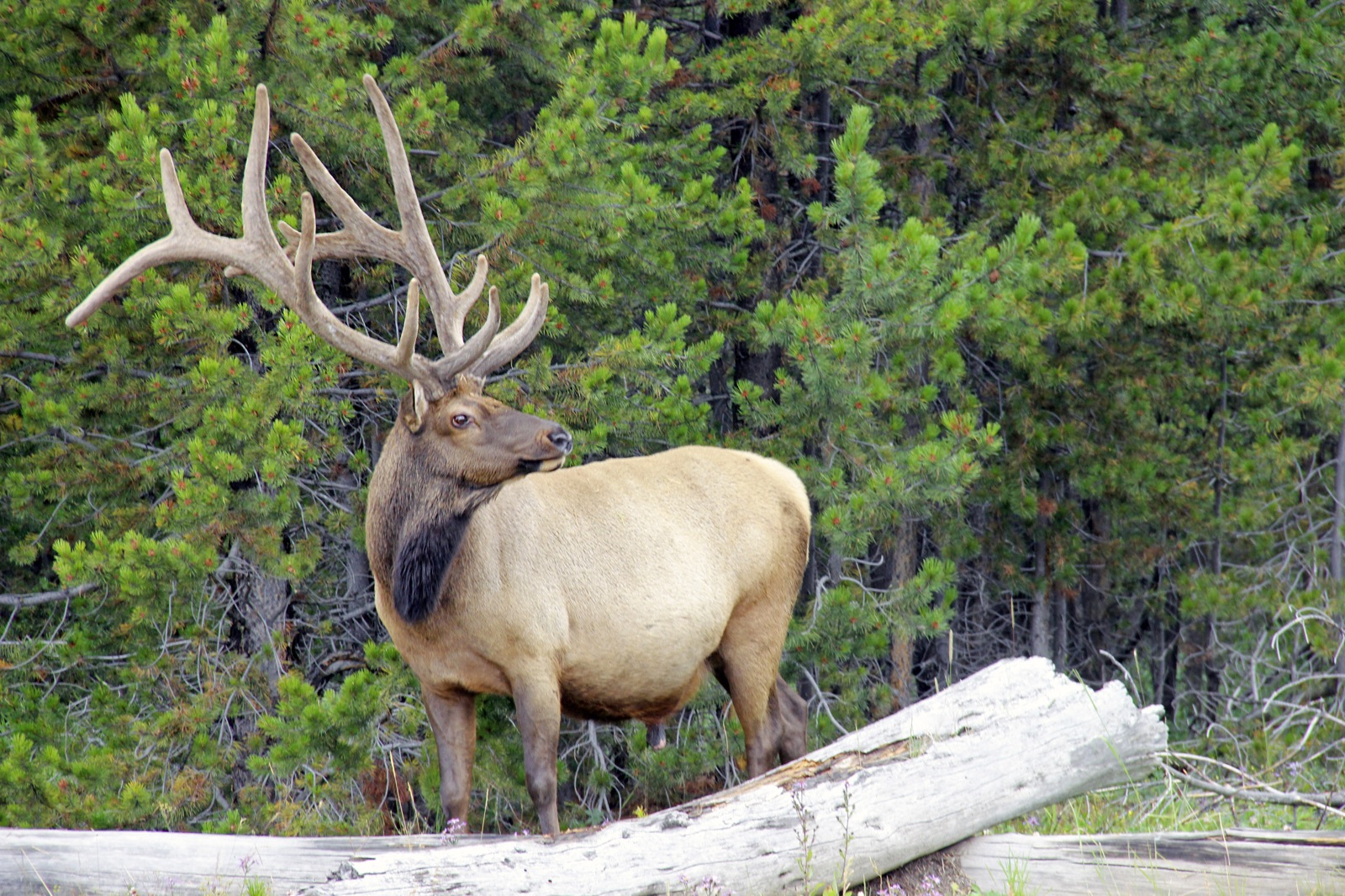 An up-close photo of an elk with his rack of antlers