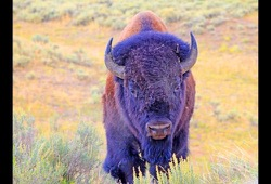 In a field of wild grasses, a large bison with horns and shaggy brown wool looks straight at the camera.
