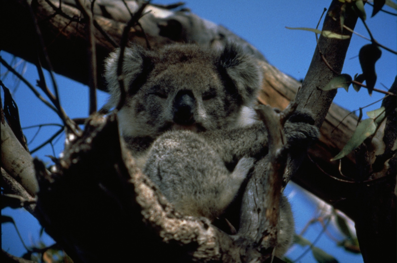 A koala bear looks down from a tree outside Cardwell, Australia.