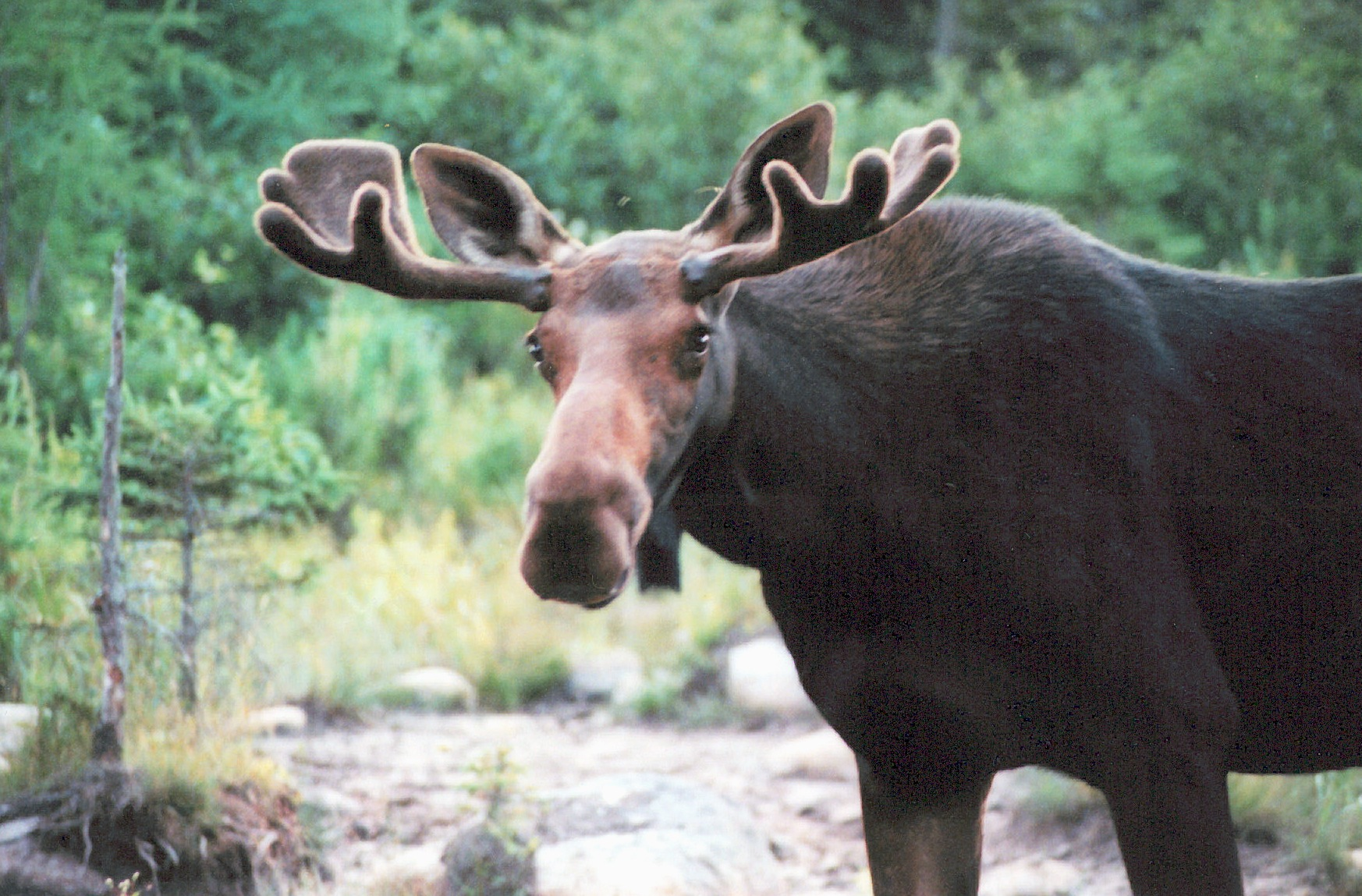Large moose with fuzzy antlers stands in a stream, looking at the camera.