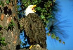 A bald eagle with beak wide open is perched on a high tree branch.