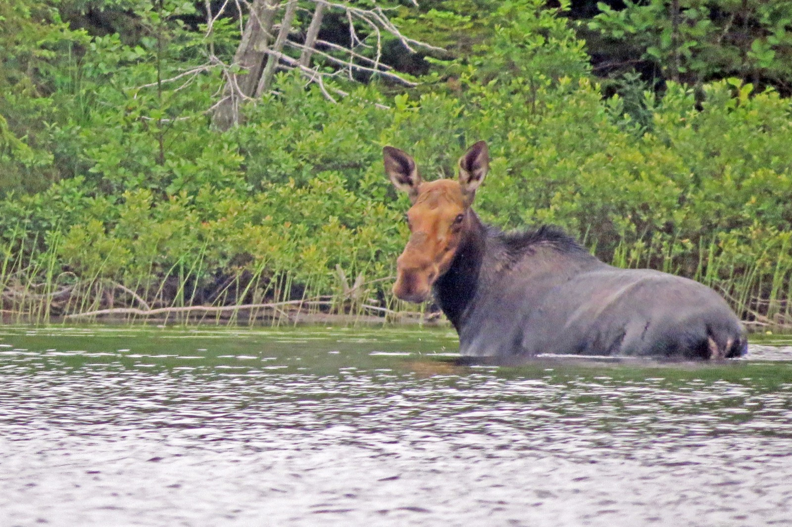 a close up photo of a moose in the water eating vegetation