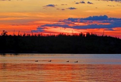 four loons float along the calm lake with the orange red and blue sky in the background