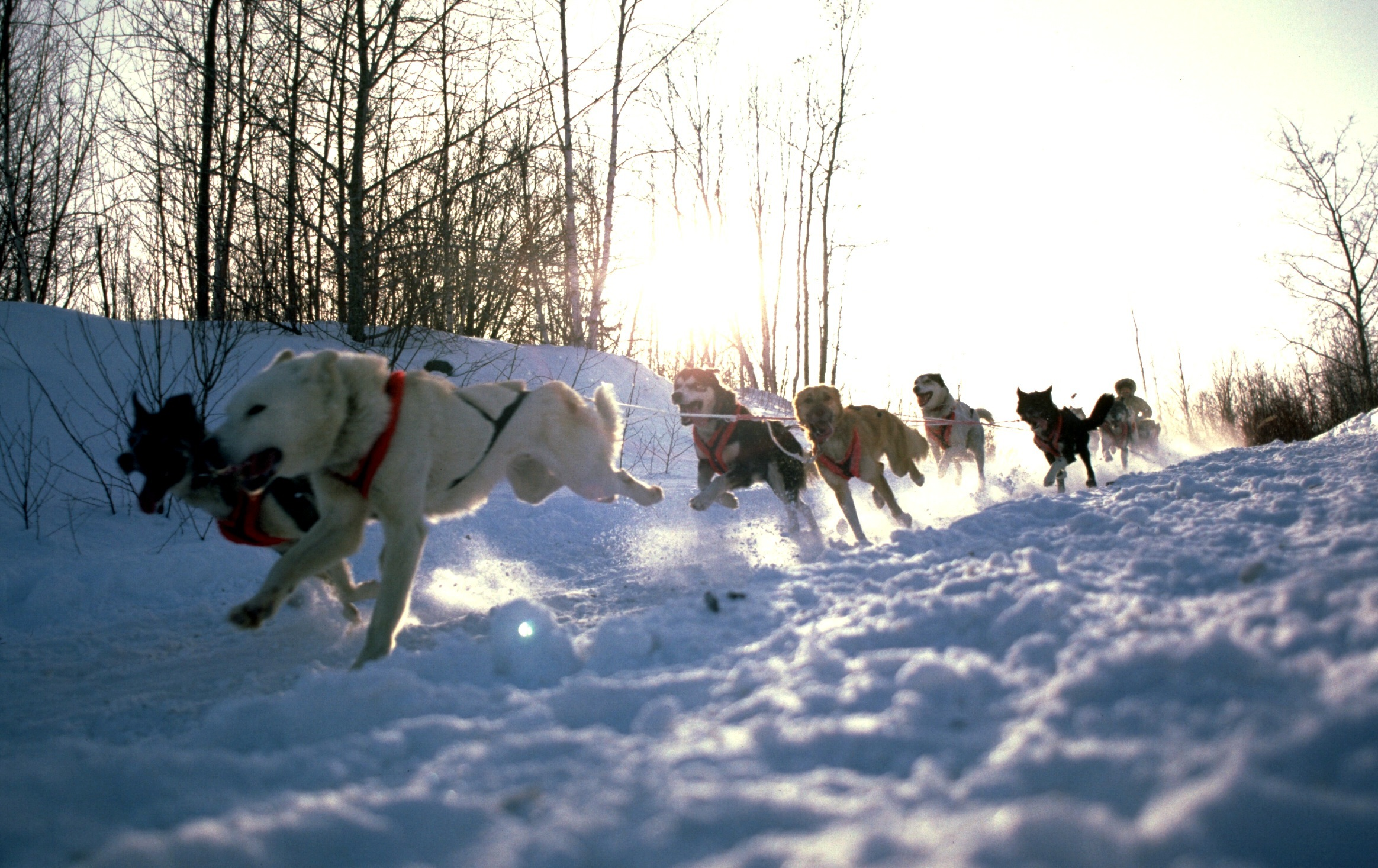 A team of sled dogs races down a snowy trail.