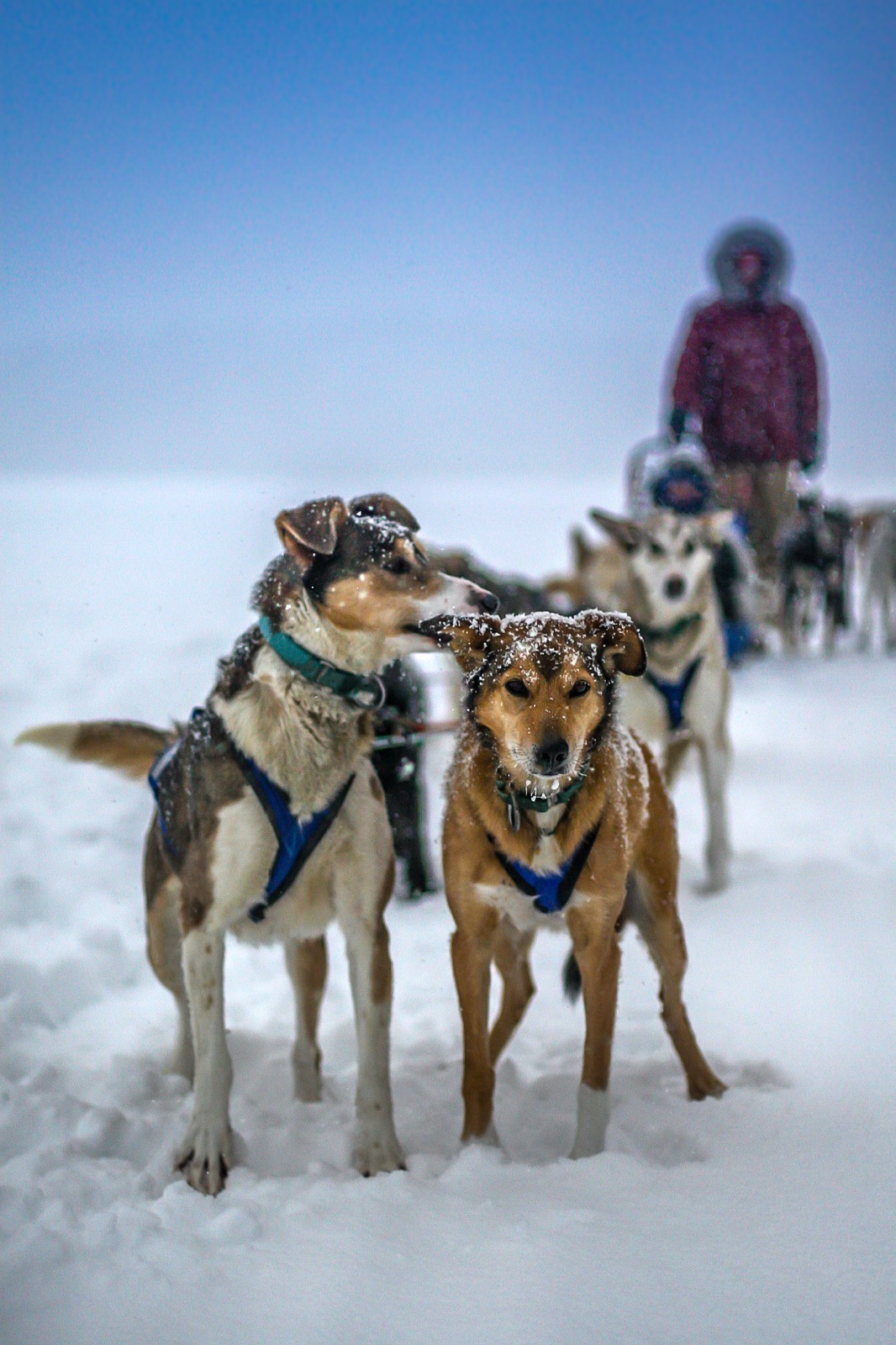 You will learn to drive your own team of sled dogs! (parka optional)