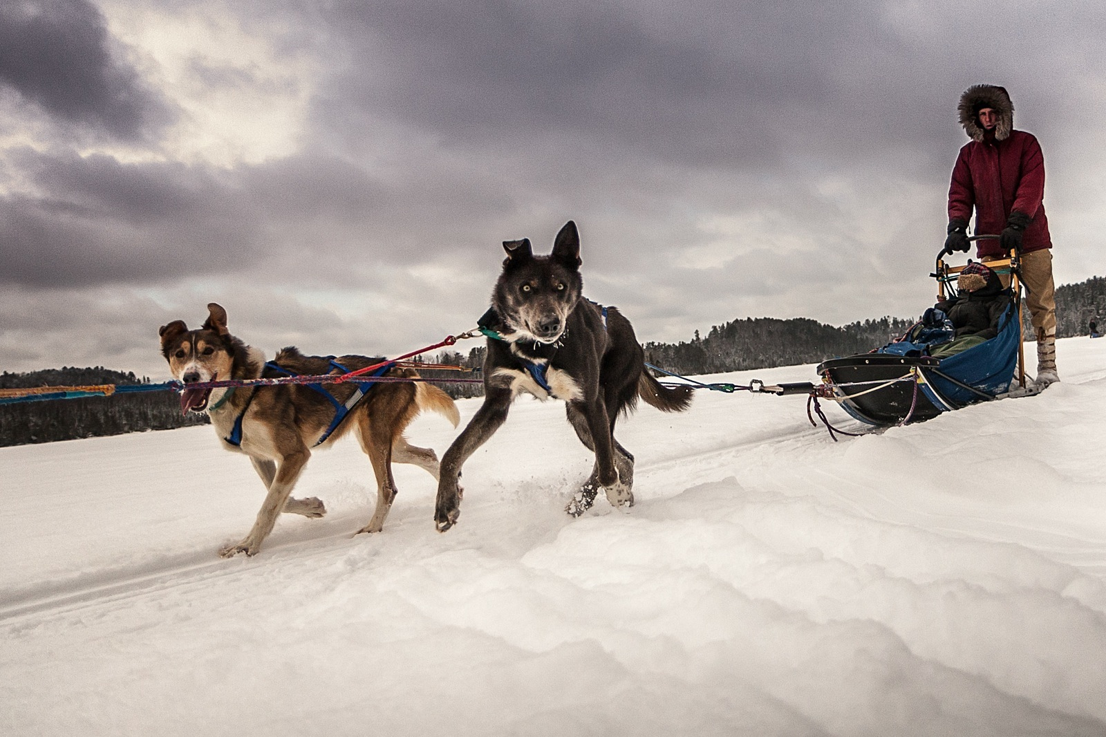 Two dogs pulling a sled look towards the camera.