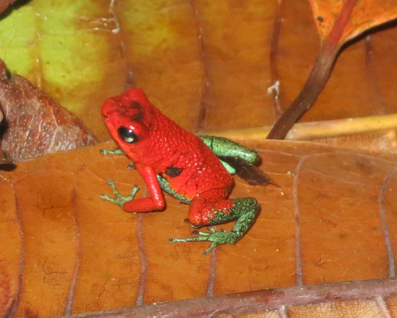 Small, red and green frog with dark eyes sits on a brown leaf.