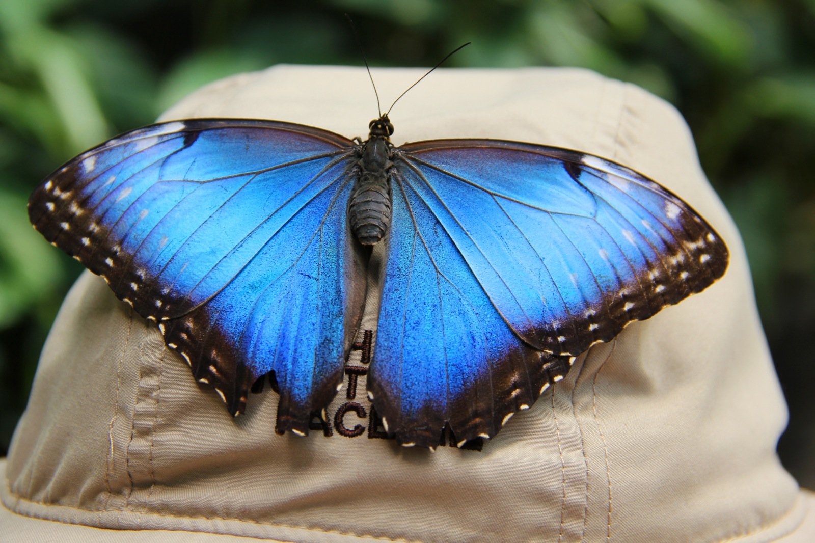 Close-up of a Blue Morpho butterfly on a woman's hat.