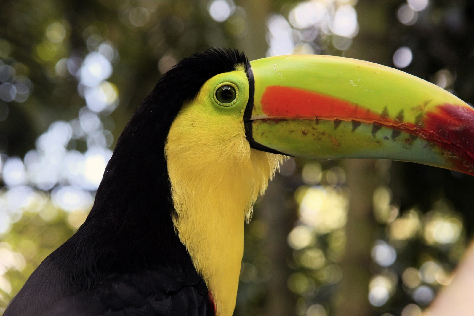 The Keel Billed or Rainbow billed Toucan is a common species of the lowland rainforests of Costa Rica.