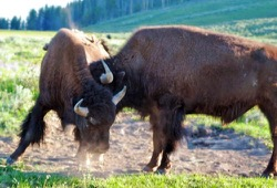 Two bison spar in Yellowstone National Park.