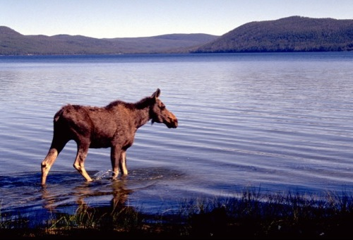 A young moose wades into the calm waters of Yellowstone Lake during a morning stroll.