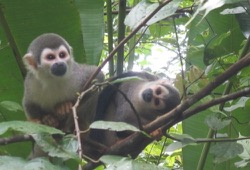 Two gray and white Squirrel Monkeys hang out in a tree surrounded by big, green leaves.