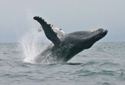 Humpback whale breaches off coast of Ecuador