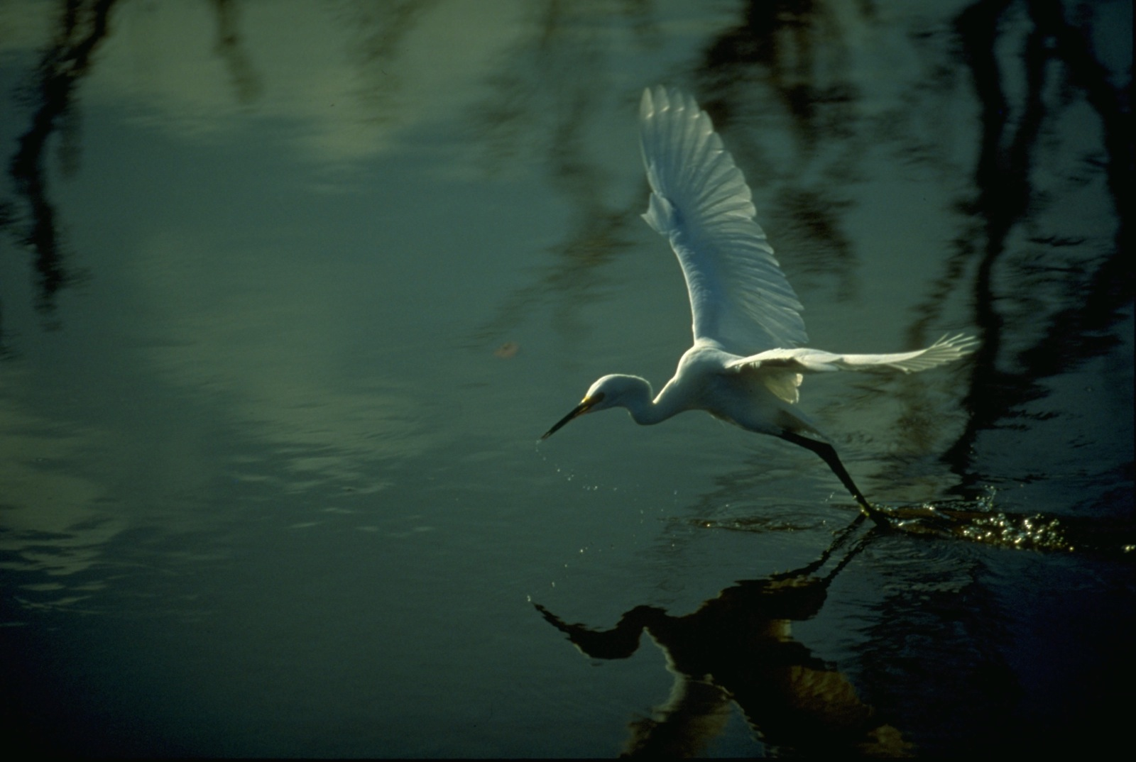 An egret flies over the glassy waters of the Florida Everglades.