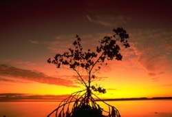 A mangrove makes a beautiful focus point on a the vivid oranges and reds cast by the setting sun.