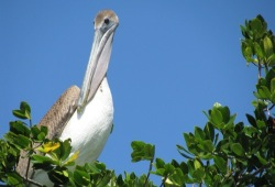 A pelican roosts in the mangrove trees of Gullivan Bay.