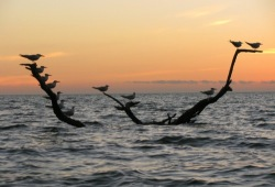 Birds rest on a partly sumerged branch in the Gulf of Mexico in the setting sun of the Florida Everglades.