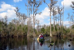 Paddling through the cedar trees in the Okenfenokee Refuge