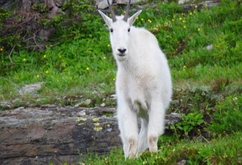 A large, white mountain goat looks inquisitive in western Montana.