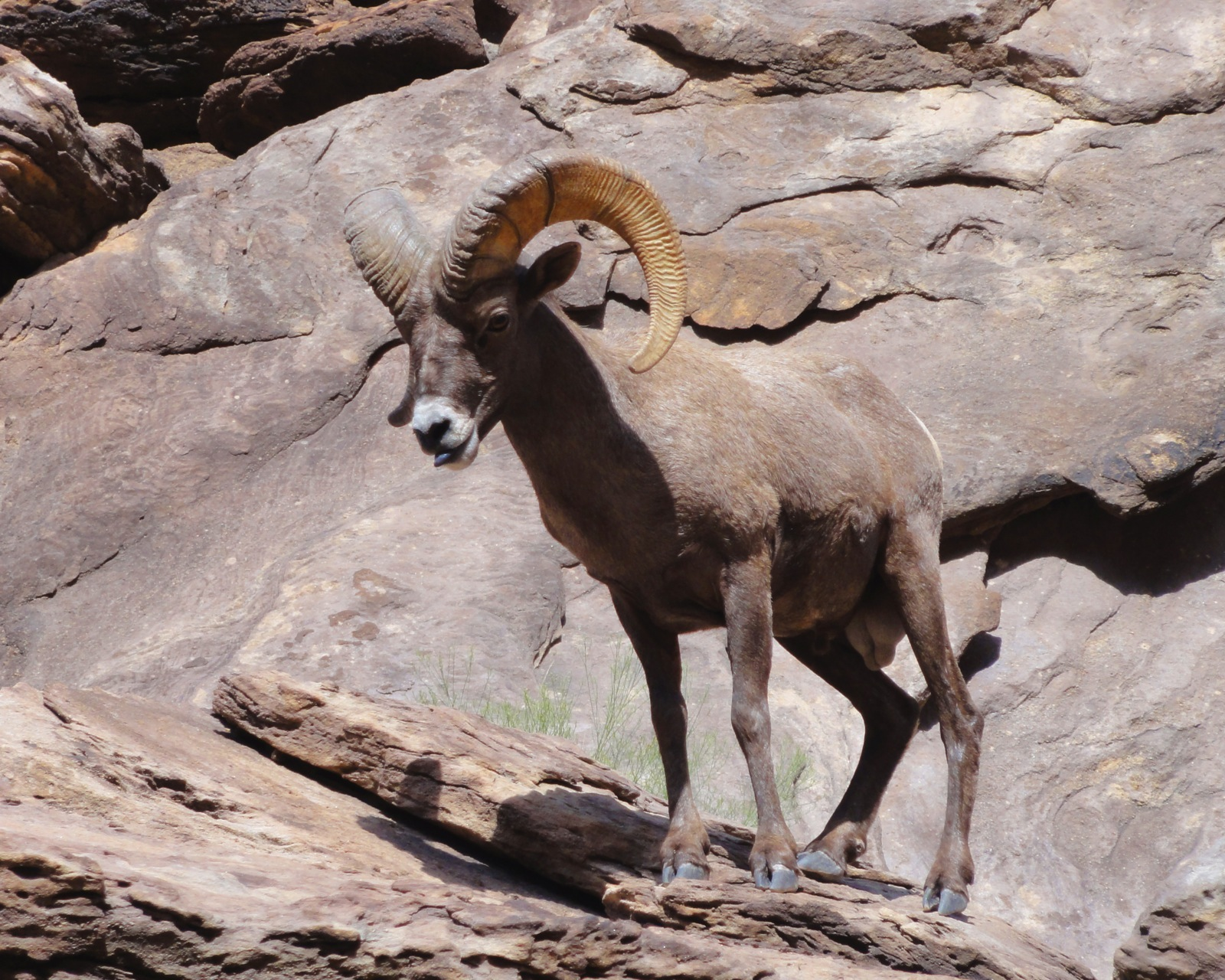 A large big horned sheep maneuvers the rugged walls of the Grand Canyon near the Hermit rapids.