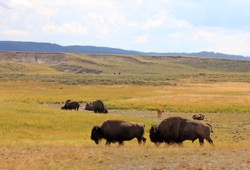 six bison are in a grassy field on a sunny day