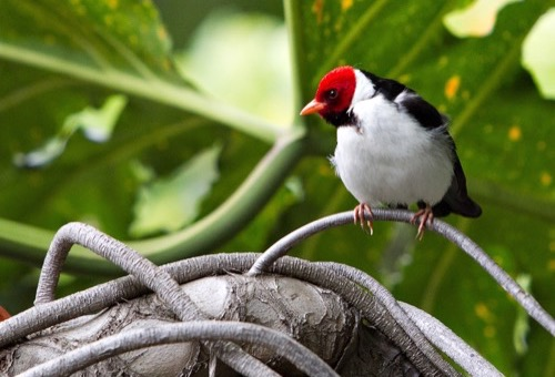 A black and white bird with a red head and yellow-orange beak perches on a vine with a large green leaf in the background.