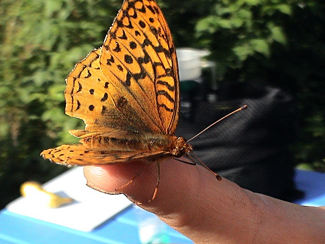 An orange butterfly lands on a finger tip on Isle Royale National Park.
