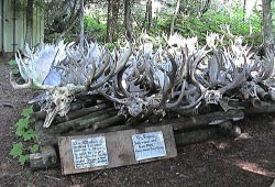 A large collection of moose and elk skulls in front of the Rock Harbor Visitor Center.