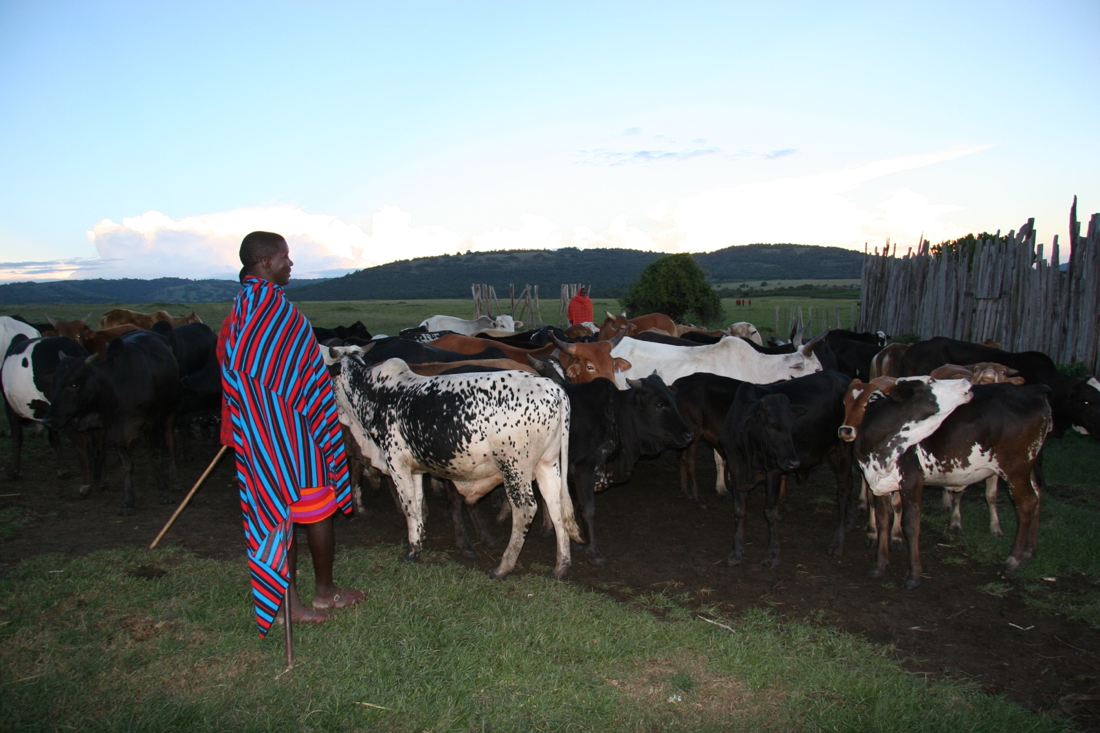 A Maasai man wearing a red and blue striped cloth tends to his cattle at dusk.