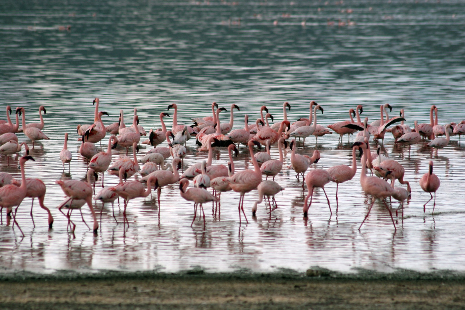 Hundreds of pink flamingoes stand in the shallows of a calm lake.
