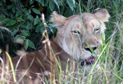 Close-up of a lioness resting by a bush with grass in the foreground.