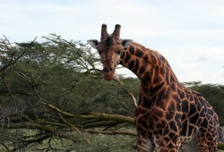 A curious giraffe leans its neck down towards the camera at Nakuru National Park.
